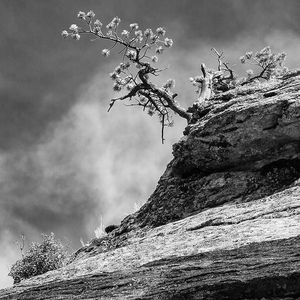 Pine at Highlands