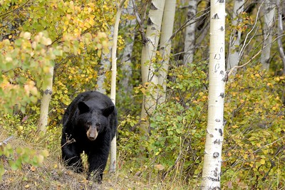 Black Bear Strut