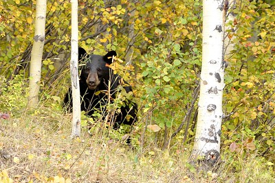 Hide & Seek, Black Bear, Glacier National Park, Montana