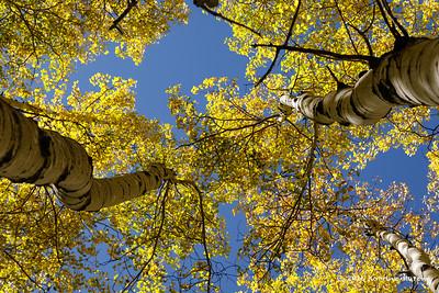 Aspens in Bloom .  Colorado