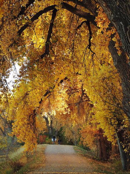Golden Cottonwood Cathedral