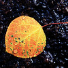 Leaf in Creek