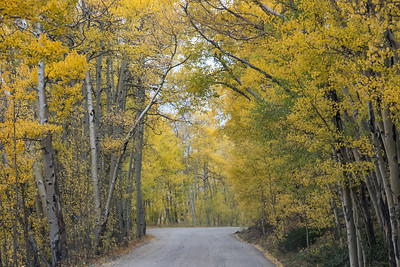 A tunnel of aspens!  What a great scene to drive through!