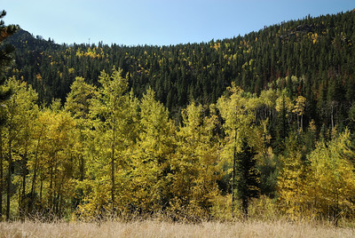 More trailside aspens.