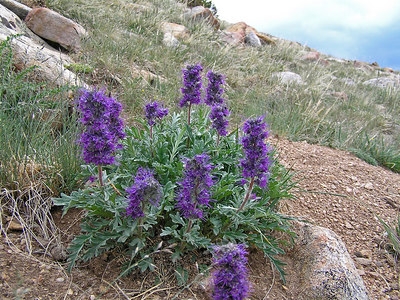 These are Colorado mountain purple flowers : )