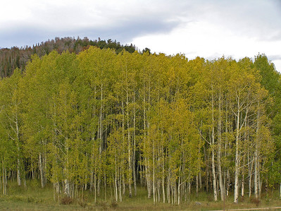And a final one of just a stand of aspen.