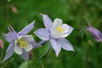 Here is a closeup of the Columbines.