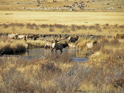 Elk at a watering hole.
