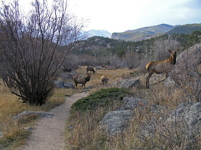 "And then, amazingly enough, ha ha, I saw more elk.  Only this time I would be walking ""thru"" the herd.  They were situated right on the trail."