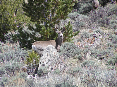 "Now it knows something is not right.  If you click on the picture to full size, you will see why they are called ""mule"" deer.  The ears are very large."