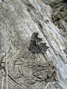 The moth has almost the same color and texture characteristics as the wood.