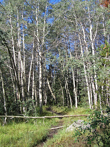 Now, a word about this first few miles. There are a lot of aspens groves you hike through.  Such as these.