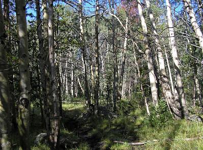 Another aspen grove.