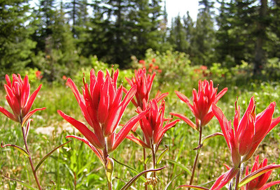 Close ups of some Indian Paintbrush wild flowers.