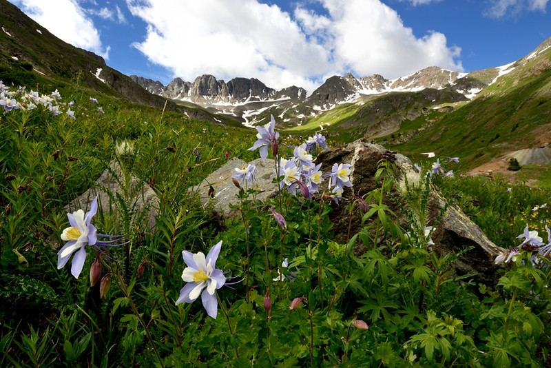 State Flower in American Basin - Colorado Wildflowers - Paul Riewerts - July 2015