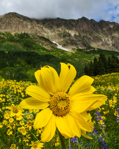 Aspen Sunflower beneath Gothic Mountain, Crested Butte - Colorado Wildflowers - Nancy Varga - July 2015