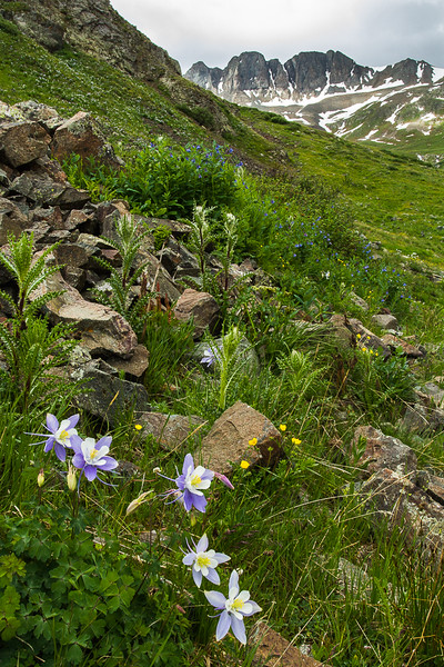 Columbines in American Basin, San Juan Mountains - Colorado Wildflowers - Nancy Varga - July 2015