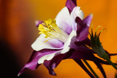 Columbine Closeup