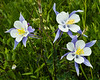 Columbine Bouquet near Crested Butte - Colorado Wildflowers - Nancy Varga - July 2015