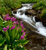 Flowers and Streams near Cinnamon Pass, San Juan Mountains - Colorado Wildflowers - Paul Riewerts - July 2015