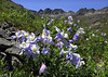 Columbines in American Basin - Panoramic (3 vertical images) -San Juan Mountains, Colorado - Doug Beezley - July 2010