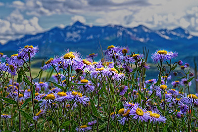 Leafy Asters 2