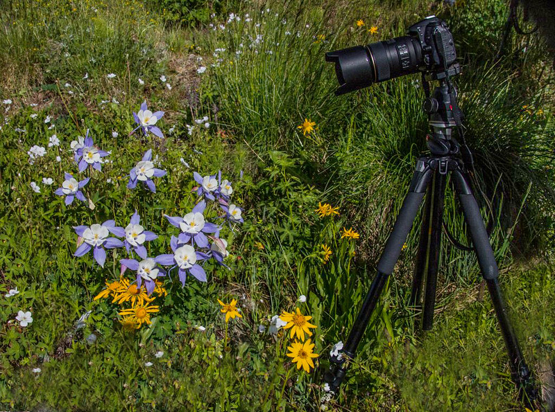 Waiting for the Photographer, San Juan Mountains - Colorado Wildflowers - Sue Cole - July 2015