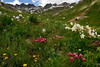 Variety Pack in American Basin, San Juan Mountains - Colorado Wildflowers - Paul Riewerts - July 2015