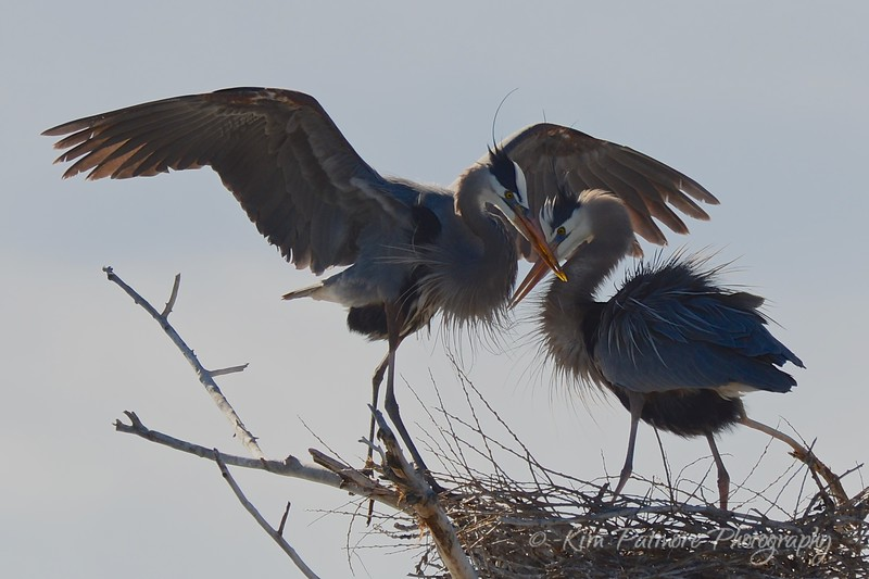 Great Blue Herons, Belmar Park