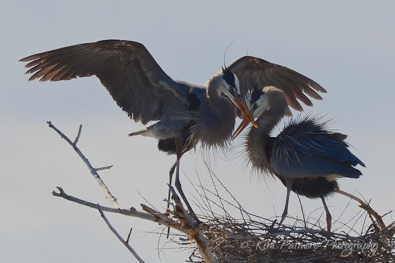 Great Blue Herons, Belmar Park