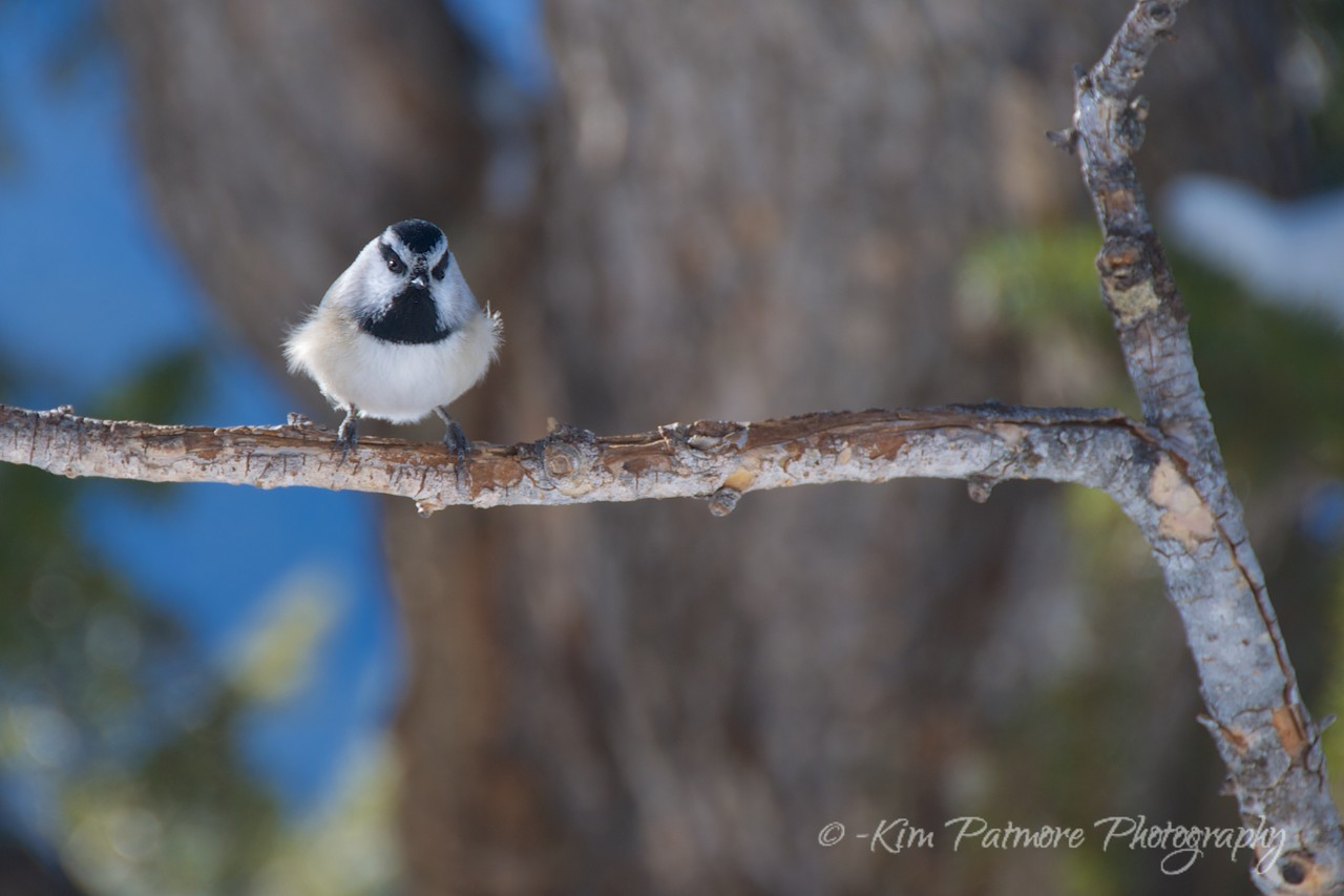 Black-Capped Chickadee, Summit County, Colorado