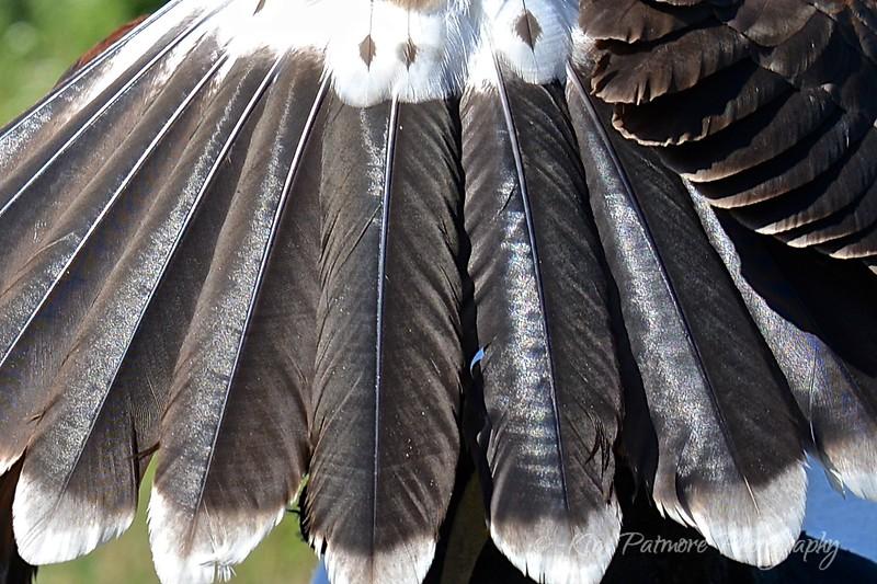 Harris Hawk Feathers