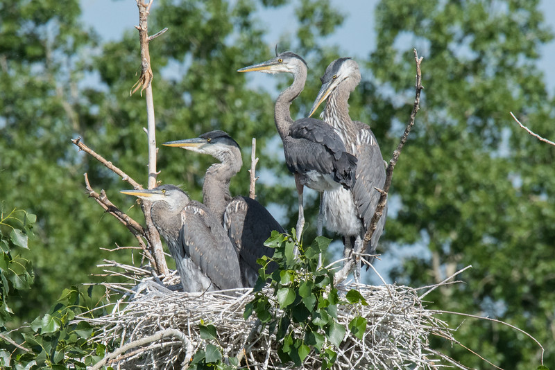 Great Blue Heron Juveniles