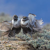 In the next few months the federal government whether or not to list the greater sage grouse as threatened.  This would be the worst case scenario for petrol, mining, and livestock interests throughout the west.<br /> SW Wyoming, 2015