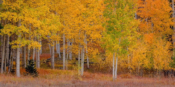 Aspen and Colorful Grasses