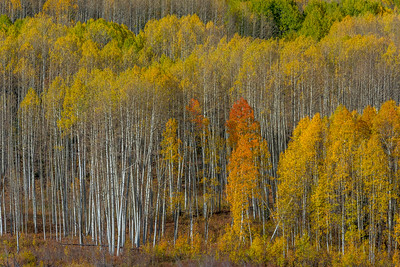 Aspen, Gunnison National Forest