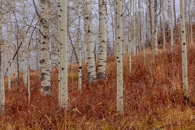Aspen and Grasses, Kolob Terrace