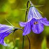 Mountain Harebell - Campanula rotundifolia