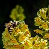 Toad Flax - Wild Snap Dragon - Linaria vulgaris