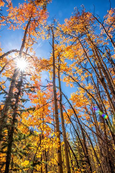 'Autumn Gold'