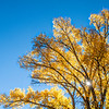 Golden Cottonwood Tree - Cottonwood Grove, Mineral Co., CO