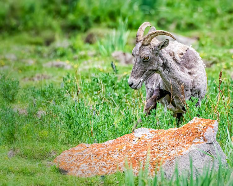 Rocky Mountan Big Horn Sheep