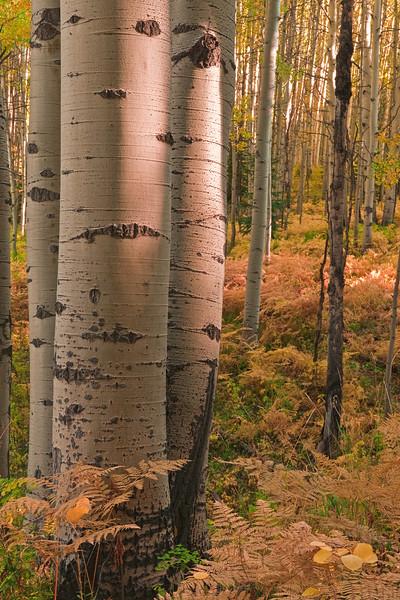 """""""A Quiet Conversation"""" - Aspen Forest - Kebler Pass Rd., Gunnison Co., CO"""