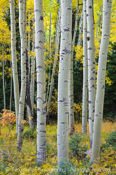 Colorful Aspen Grove