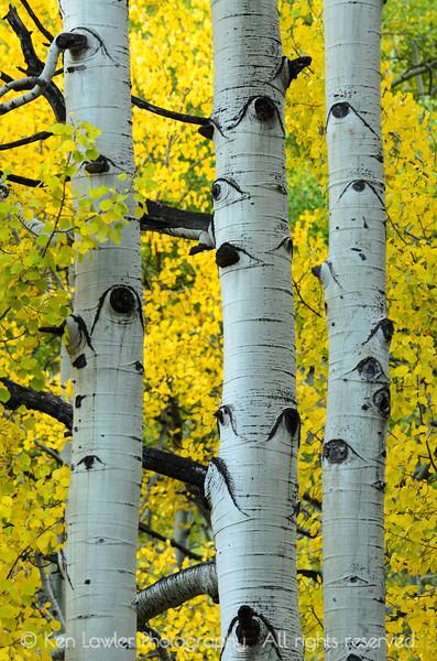 Aspens in Autumn I