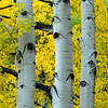 Aspens in Autumn I