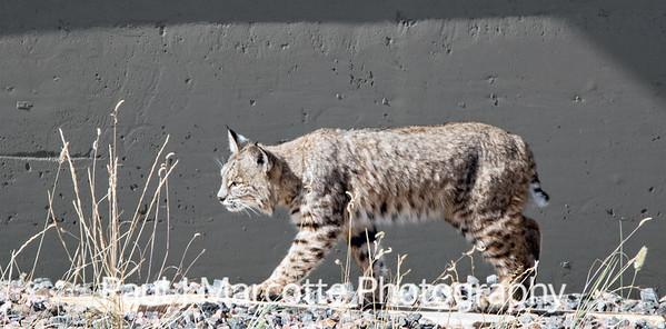 Estes Park Bobcat