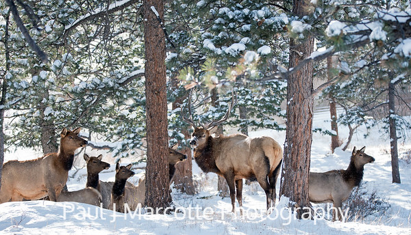 Bull Elk and Harem in the Estes Park snow