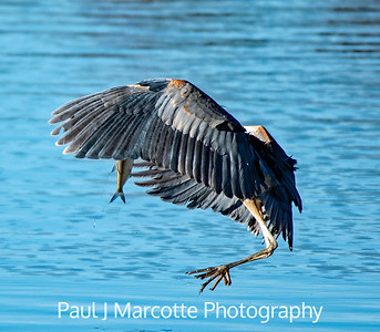 Great blue heron wrapped around catch