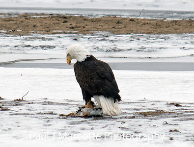 Bald eagle's successful hunt